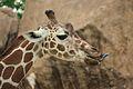 Giraffa camelopardalis at the Philadelphia Zoo 007.jpg
