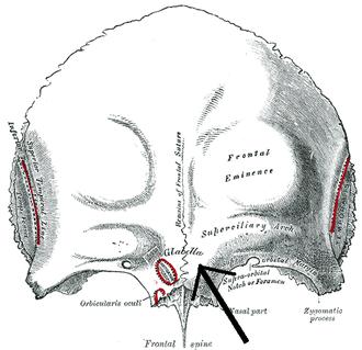 Glabella - Frontal bone. Outer surface. (Glabella visible near bottom of bone.)