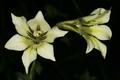 Gladiolus tristis 1DS-II 3-8224.png