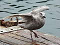Glaucous-winged Gull RWD4.jpg