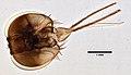 Glossina palpalis (YPM IZ 099603).jpeg