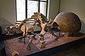 Glyptodon unshelled.jpg