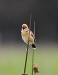Golden-headed Cisticola.jpg