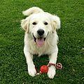 Golden Retriever Pup 2.jpg