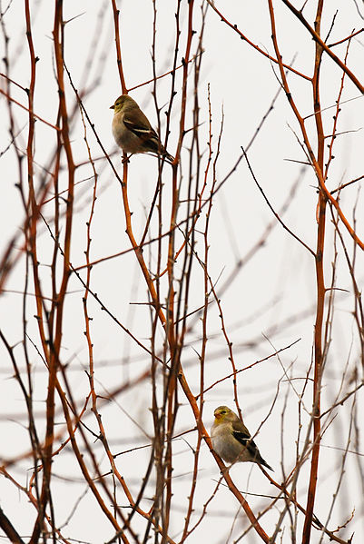 File:Goldfinches at Audubon Dodson Road Nature Trail.jpg
