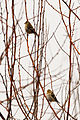 Goldfinches at Audubon Dodson Road Nature Trail.jpg