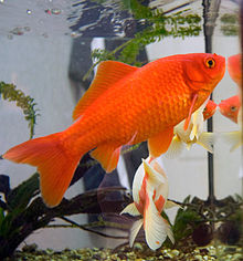 Aquarium scene with a bright orange goldfish swimming, tail at lower left, head at upper right, with some driftwood and another goldfish,  white and orange, behind.
