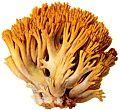 Goldgelbe Koralle-1.jpg