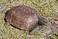 Gopher tortoise in Punta Gorda, Florida 2.jpg