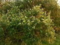 Gorse bush on ridge - Redisher - geograph.org.uk - 344726.jpg
