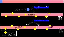 El ARNm producido por la