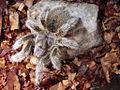 Grammostolearosea.jpg