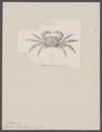 Grapsus intermedius - - Print - Iconographia Zoologica - Special Collections University of Amsterdam - UBAINV0274 094 05 0006.tif