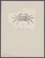 Grapsus intermedius - - Print - Iconographia Zoologica - Special Collections University of Amsterdam - UBAINV0274 094 05 0006.tif