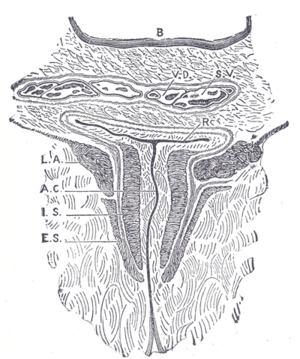 Pelvic floor - Coronal section through the male anal canal. B. Cavity of urinary bladder V.D. Vas deferens. S.V. Seminal vesicle. R. Second part of rectum. A.C. Anal canal. L.A. Levator ani. I.S. Internal anal sphincter. E.S. External anal sphincter.