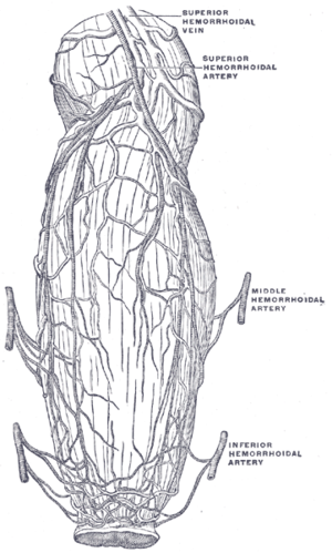 Middle rectal artery - The blood vessels of the rectum and anus, showing the distribution and anastomosis on the posterior surface near the termination of the gut. (Labeled as hemorrhoidal artery.)
