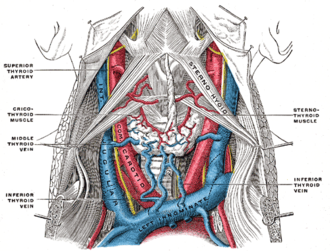 Cricothyroid muscle - Image: Gray 562