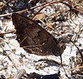 Grayling. Hipparchia semele. - Flickr - gailhampshire.jpg