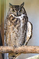 Great Horned Owl (8736494605).jpg