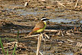 Great Kiskadee at Santa Ana NWR (5610231549).jpg