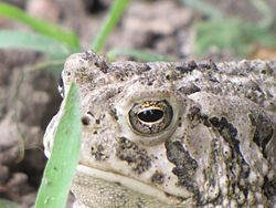 Great Plains Toad (7335252934).jpg