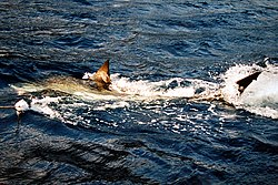 A great white shark going after a buoy