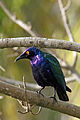 Greater Blue-eared Starling (8482323650).jpg
