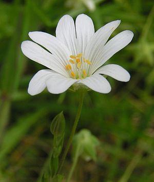 Stellaria - Greater stitchwort, Stellaria holostea