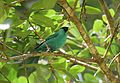 Green Honeycreeper (24522263294).jpg