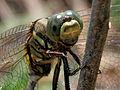 Green Marsh Hawk (Orthetrum sabina) W3 IMG 3457.jpg