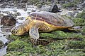 Green Sea Turtle Dec 05.JPG