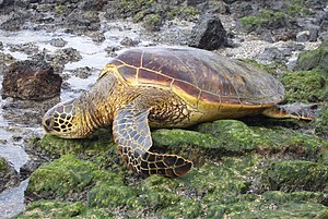 Green Sea Turtle Dec 05