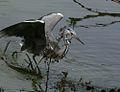 Grey heron fishing.jpg