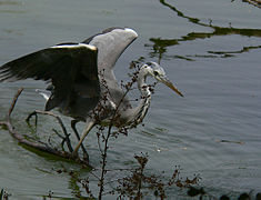 Grey heron fishing.jpg