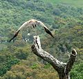 Griffon Vultures above a dead horse. - Flickr - gailhampshire (2).jpg
