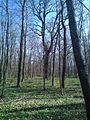 Group of 10 oak trees in Scoreni forest 08.jpg