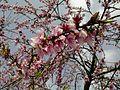 Guava flower s.jpg