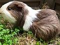 Guinea pig eating parsley.jpg