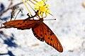 Gulf Fritillary or Passion Butterfly (Agraulis vanillae) (6306731275).jpg