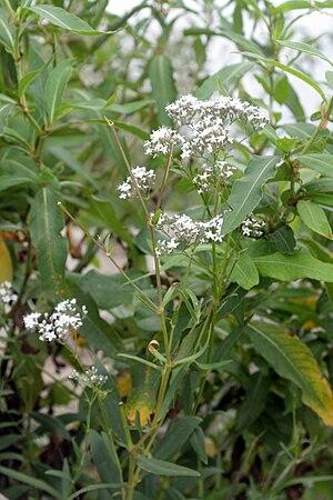 Gypsophila oldhamiana - Image: Gypsophila oldhamiana