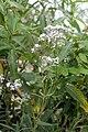 Gypsophila oldhamiana.JPG