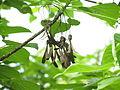 Gyrocarpus americanus fruit03.JPG