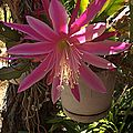 H20140609-2820—UNK Epiphyllum—1354 Lincoln (14474774814).jpg