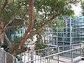 HK 半山區 Mid-levels 般咸道 Bonham Road Chinese bunyan trees February 2020 SS2 07.jpg