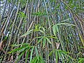 HK 油麻地 Yau Ma Tei 九龍華仁書院 Kowloon Wah Yan College bamboo tree forest Jan-2014 green leaves.JPG