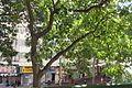HK 鰂魚涌 Quarry Bay 英皇道 King's Road Tor Po Mansion tree crown Jan 2017 IX1.jpg