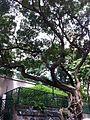 HK Sheung Wan Tai Ping Shan Street Upper Station Street Blake Garden Banyan tree July-2013.JPG
