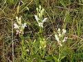 Habenaria monorrhiza Costa Rica.jpg