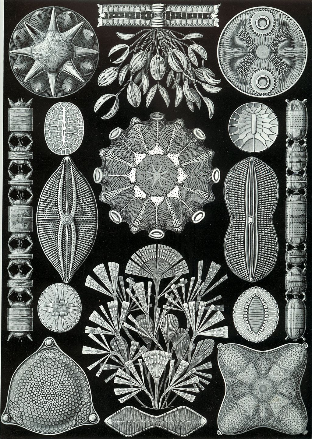 Haeckel Diatomea