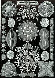 An assortment of Diatomea from Ernst Haeckel's 1904 Kunstformen der Natur (Artforms of Nature)